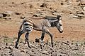 Cape Mountain Zebra (Equus zebra zebra) foal (32940107701).jpg