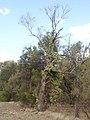 Capparis lasiantha 44895991245 28abaf7cb7 o.jpg