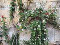 Capparis spinosa26.jpg