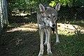 Captive male red wolf at Sandy Ridge (6351228444).jpg