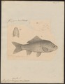 Carassius auratus - 1833-1850 - Print - Iconographia Zoologica - Special Collections University of Amsterdam - UBA01 IZ15000050.tif