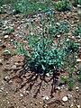 Carduus tenuiflorus CampoCalatrava.jpg