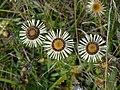 Carlina vulgaris 02 (HS).JPG