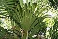 Carludovica palmata 19zz.jpg