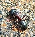 Carpenter Ant Camponotus novaeboracensis worker.jpg