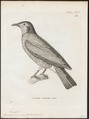 Casmarhynchus nudicollis - 1700-1880 - Print - Iconographia Zoologica - Special Collections University of Amsterdam - UBA01 IZ16600165.tif