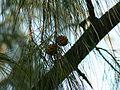 Casuarina equisetifolia (2094904051).jpg