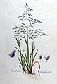 Catabrosa aquatica — Flora Batava — Volume v8.jpg