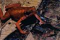 Cayenne Stubfoot Toad (Atelopus flavescens) (10745688163).jpg