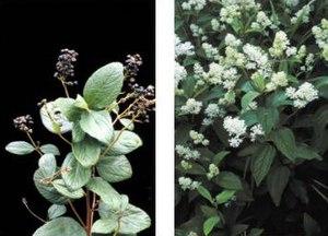 Ceanothus - Ceanothus americanus (fruit left, flowers right)