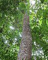 Cedrela odorata (30629183681).jpg