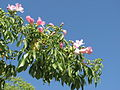 Ceiba Preciosa Fleurs.JPG
