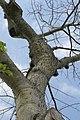 Ceiba speciosa 3zz.jpg