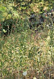 Centaurea rivularis 20140827.jpg