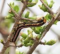 Cephonodes hylas (Bee hawkmoth) on Catunaregam spinosa W IMG 9509.jpg