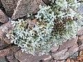 Cerastium tomentosum Cantilaga 01.jpg