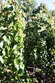 Cercis canadensis texensis Traveller 1zz.jpg