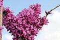 Cercis chinensis Avondale 17zz.jpg