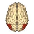Cerebrum - angular gyrus - superior view.png