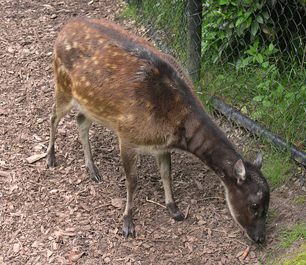 Female specimen in captivity Cervus alfredi.jpg