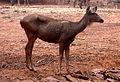 Cervus unicolor (Sambar deer) at IGZoo Visakhapatnam 02.JPG