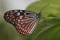 Ceylon Blue Glassy Tiger Ideopsis similis 琉球浅葱斑(リュウキュウアサギマダラ).jpg