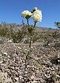 Chaenactis stevioides 9.jpg