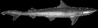 Hemigaleidae - Hooktooth shark, Chaenogaleus macrostoma