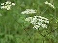 Chaerophyllum temulum inflorescence (13).jpg