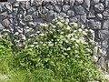 Chaerophyllum temulum plant (02).jpg