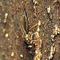 Chalcid Wasp (34307502901).jpg