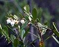 Chamaedaphne Calyculata Haukipudas 20110604.JPG