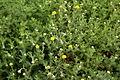 Chamaemelum nobile - Botanischer Garten Mainz IMG 5646.JPG
