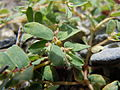 Chamaesyce serpyllifolia (5144321512).jpg
