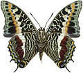 Charaxes castor male ventral.jpg