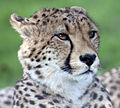 Cheetah Head 1 (4505738714).jpg