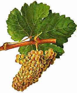 Chenin blanc varietal