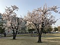 Cherry blossoms in park in front of south entrance of Oita Station 2.jpg