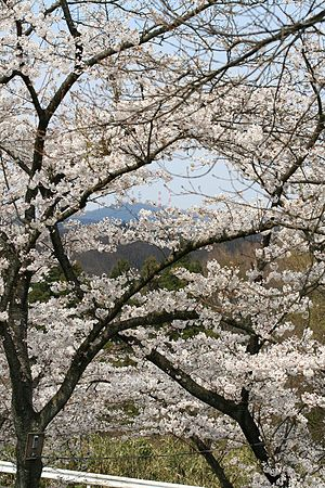 Mount Ikoma -  Cherry trees in blossom on Mount Ikoma