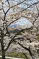 Cherry trees on Mount Ikoma.jpg