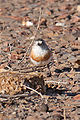 Chestnut-breasted Whiteface (Aphelocephala pectoralis) from front.jpg