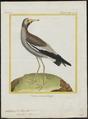 Chettusia senegalla - 1700-1880 - Print - Iconographia Zoologica - Special Collections University of Amsterdam - UBA01 IZ17200139.tif
