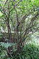 Chimonanthus praecox - Chengdu Botanical Garden - Chengdu, China - DSC03418.JPG