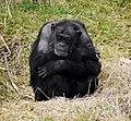 Chimpanzee, Belfast Zoo - geograph.org.uk - 1766207.jpg