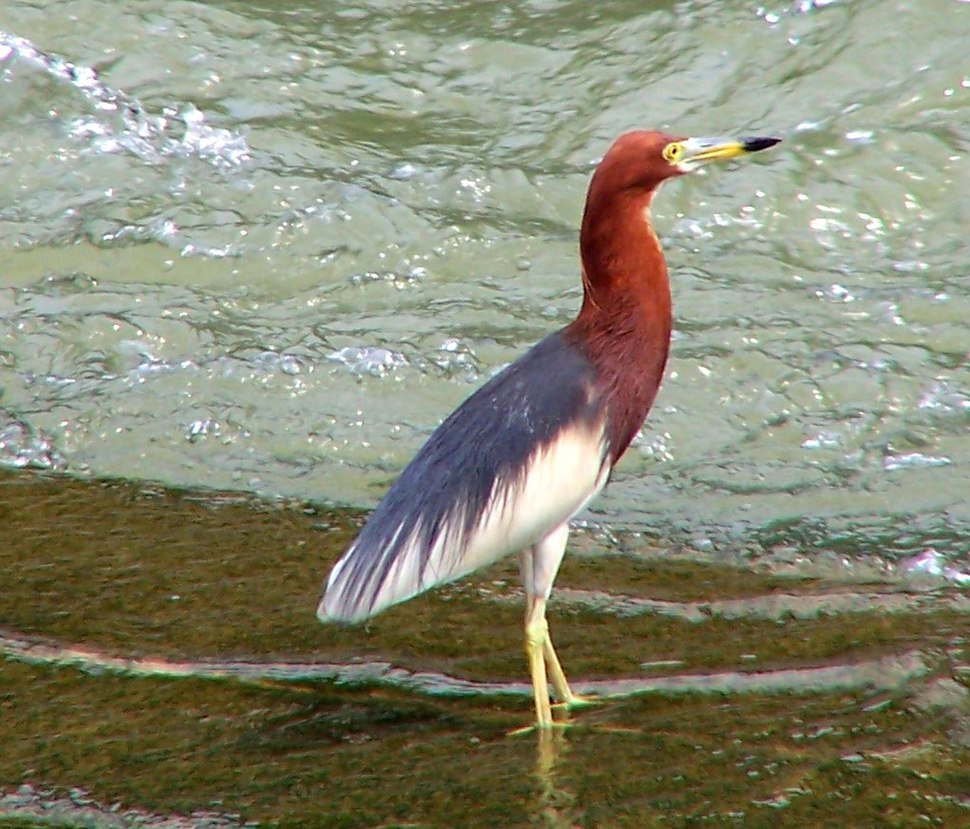 Chinese Pond Heron in Summer