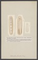 Chitonellus - Print - Iconographia Zoologica - Special Collections University of Amsterdam - UBAINV0274 005 04 0017.tif