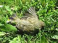 Chloris chloris (dead male) in Falköping 0816.jpg