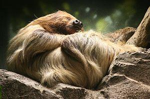 Linnaeus's two-toed sloth - Image: Choloepus didactylus Buffalo Zoo