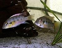 Chromidotilapia guntheri Bama BF cpl fry2