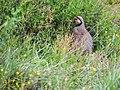 Chukar Partridge (14547898054).jpg